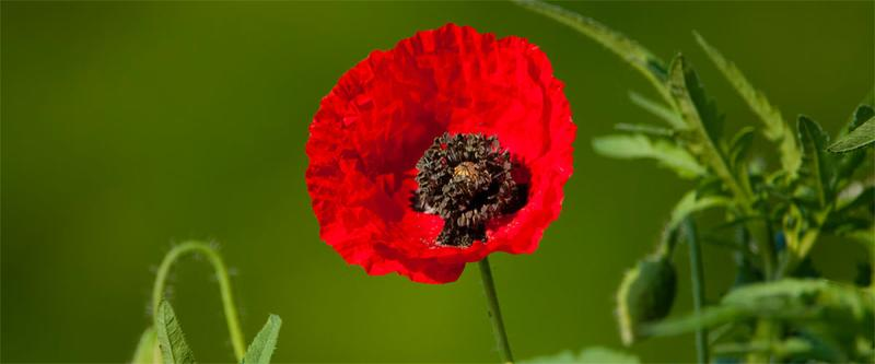 coquelicot slow flower